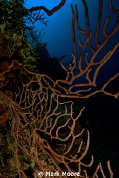 BLACK CORAL AT TRINITY CAVES GRAND CAYMAN by Mark Moore 